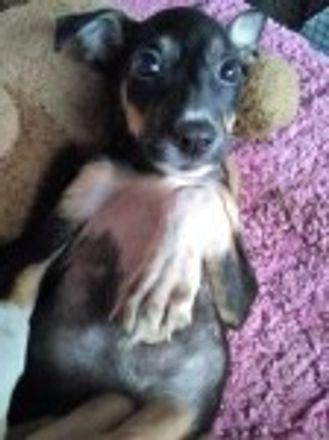 Becky - Indian Pariah Dog