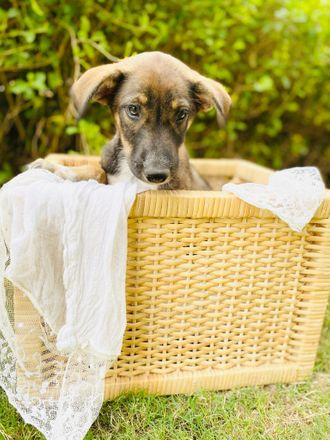 Mili - Indian Pariah Dog