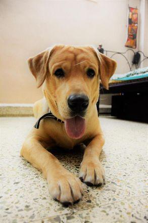 Oscar - Labrador Retriever