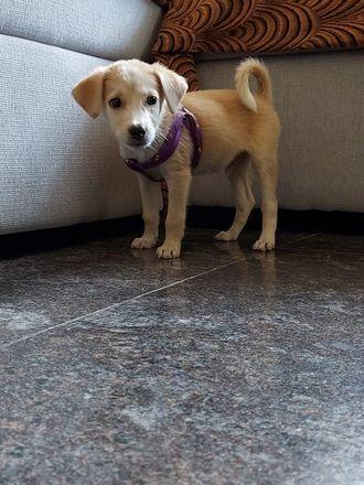 Robbie - Indian Pariah Dog