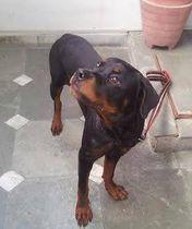 Rottweiler | shipra singhal