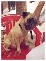 Pug | shipra singhal