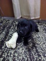 Labrador Retriever | Ritwik Mishra
