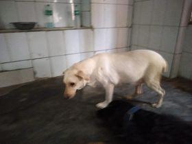 Labrador Retriever   Admin