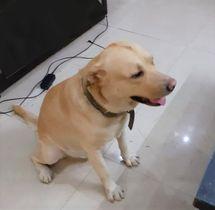 Labrador Retriever   nihal chowdhary