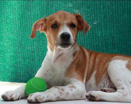 Indian Pariah Dog   Uma