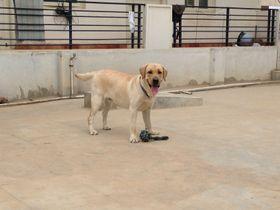 Labrador Retriever | Abin Raina