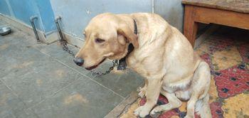 Labrador Retriever   Abin Raina