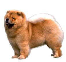 Compare Chow Chow Vs Pomeranian Difference Between Chow Chow And Pomeranian