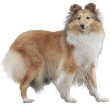Shetland Sheep dog