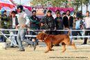 Amritsar Dog Show 2012 | dogue de bordeaux,ex-167,sw-65,
