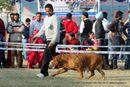 Amritsar Dog Show 2012 | dogue de bordeaux,ex-169,sw-65,