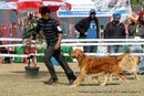 Amritsar Dog Show 2012 | golden retriever,sw-65,