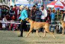 Amritsar Dog Show 2012 | ex-178,great dane,sw-65,