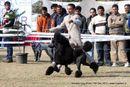 Amritsar Dog Show 2012 | ex-68,poodle,sw-65,