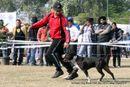 Amritsar Dog Show 2012 | ex-53,staffordshire bull terrier,sw-65,