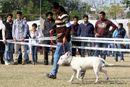 Amritsar Dog Show 2012 | bull terrier,ex-48,sw-65,