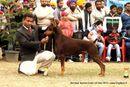 Amritsar Dog Show 2013   dobermann pinscher,sw-100,