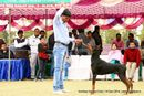 Amritsar Kennel Club | doberman pinscher,sw-136,