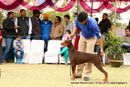 Amritsar Kennel Club | doberman pinscher,ex-159,sw-136,