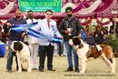 Amritsar Kennel Club | bob,saint bernard,st bernard,sw-136,
