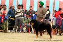 Amritsar Kennel Club | ex-230,sw-136,tibetan mastiff,