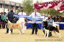 Amritsar Kennel Club | akita,bob,sw-136,