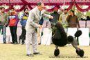 Amritsar Kennel Club   ex-55,poodle- standard,sw-136,