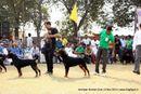 Amritsar Kennel Club | rottweiler,sw-135,