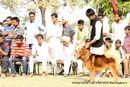 Amritsar Kennel Club | sw-135,tibetan mastiff,tm,