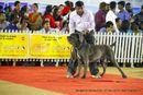 Bangalore Canine Club 2014 | ex-359,neapolitan mastiff,sw-138,