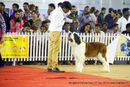Bangalore Canine Club 2014 | st bernard,sw-138,