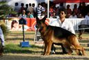 Bangalore Dog Show 2012 | ex-448,german shepherd,sw-69,