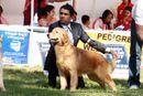 Bangalore Dog Show 2012 | ex-141,golden retriever,sw-69,