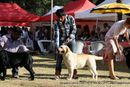 Bangalore Dog Show 2012 | labrador retriever,sw-69,