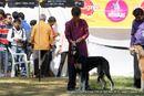 Bangalore Dog Show 2012   ex-126,saluki,sw-69,