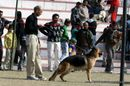 Bareilly Dog Show 2011 | sw-14, ex-186,gsd,