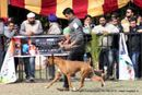 Chandigarh Dog Show 2013 | boxer,ex-176,sw-75,