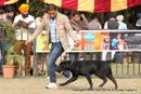 Chandigarh Dog Show 2013 | ex-127,labrador retriever,sw-75,