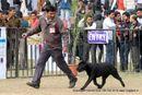 Chandigarh Dog Show 2013 | ex-125,labrador retriever,sw-75,