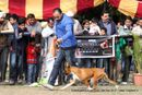 Chandigarh Dog Show 2013 | boxer,sw-75,
