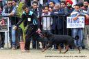 Chandigarh Dog Show 2013 | ex-224,rottweiler,sw-75,