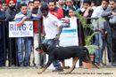 Chandigarh Dog Show 2013 | ex-226,rottweiler,sw-75,