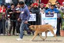 Chandigarh Dog Show 2013 | bull mastiff,ex-186,sw-75,