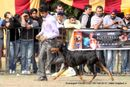 Chandigarh Dog Show 2013 | dobermann,ex-196,sw-75,