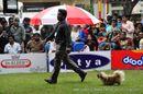 Chennai Dog Shows   pekingese,