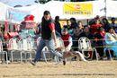 Dehradun Dog Show 2012 | ex-77,sw-73,whippet,