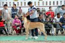 Dehradun Dog Show 2013 | great dane,sw-103,