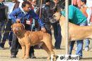 Dehradun Dog Show | Great Dane,Group Judging,Mastiff,Working Group,