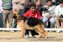 German Shepherd Dog Specialty Show Delhi | german shepherd dog specialty show delhi